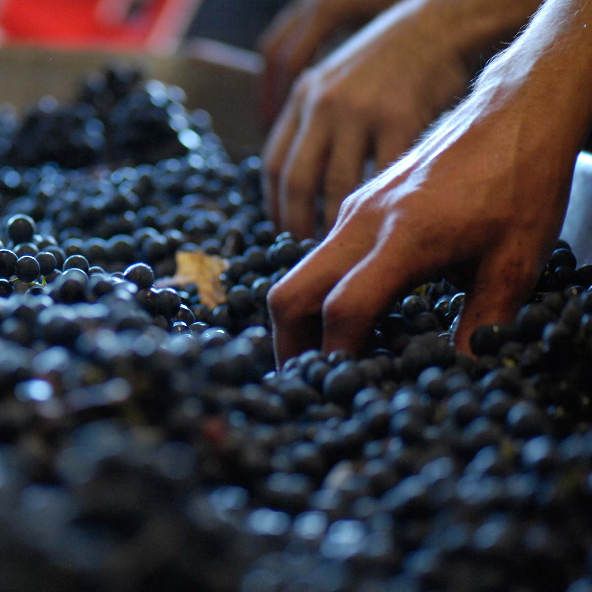 Tri manuel des raisins