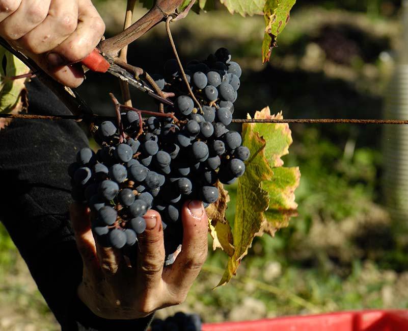 Récolte des raisins à maturité